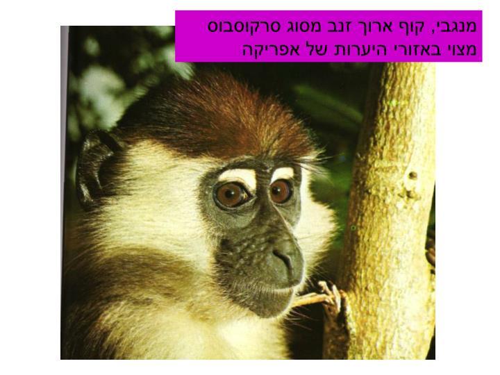 מנגבי, קוף ארוך זנב מסוג סרקוסבוס מצוי באזורי היערות של אפריקה