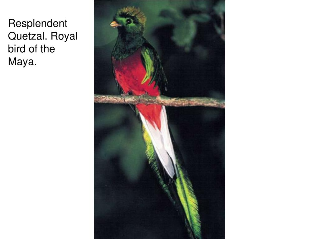 Resplendent Quetzal. Royal bird of the Maya.
