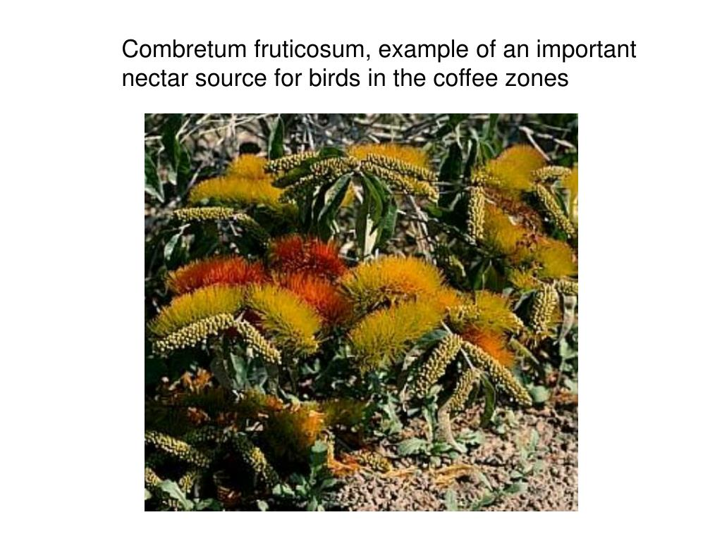 Combretum fruticosum, example of an important nectar source for birds in the coffee zones