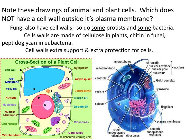 Note these drawings of animal and plant cells.  Which does NOT have a cell wall outside it's plasma membrane?