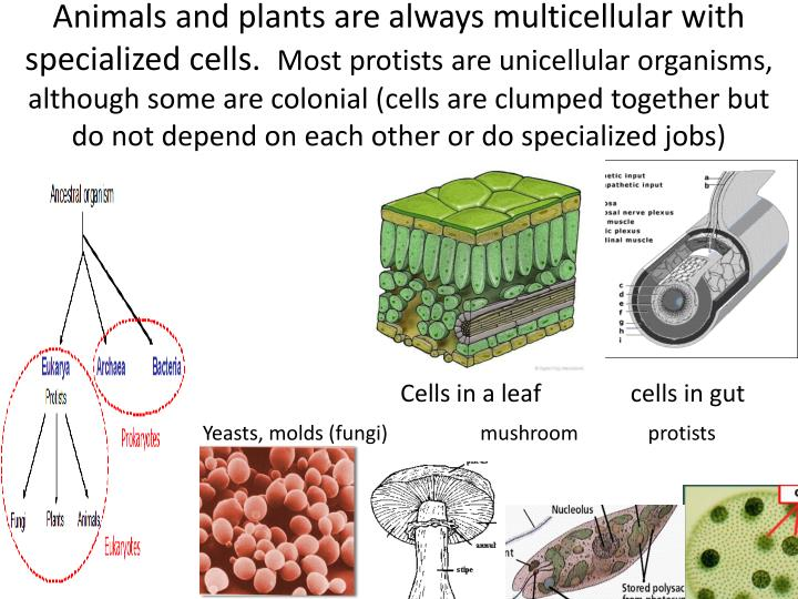 Animals and plants are always multicellular with specialized cells.