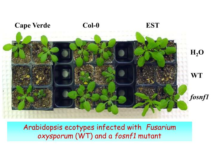 Arabidopsis ecotypes infected with fusarium oxysporum wt and a fosnf1 mutant