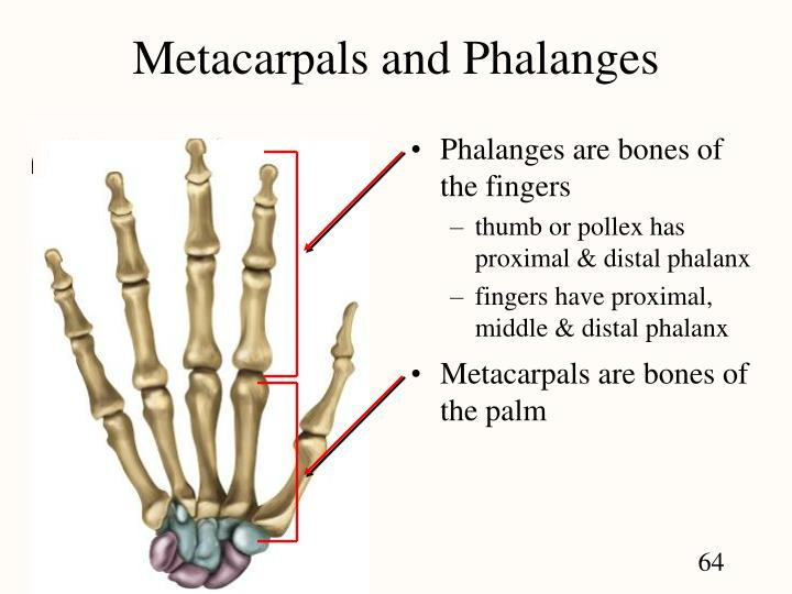 The bones of the hand can be grouped into three categories 1 Carpal Bones Most proximal 2 Metacarpals 3 Phalanges Most distal