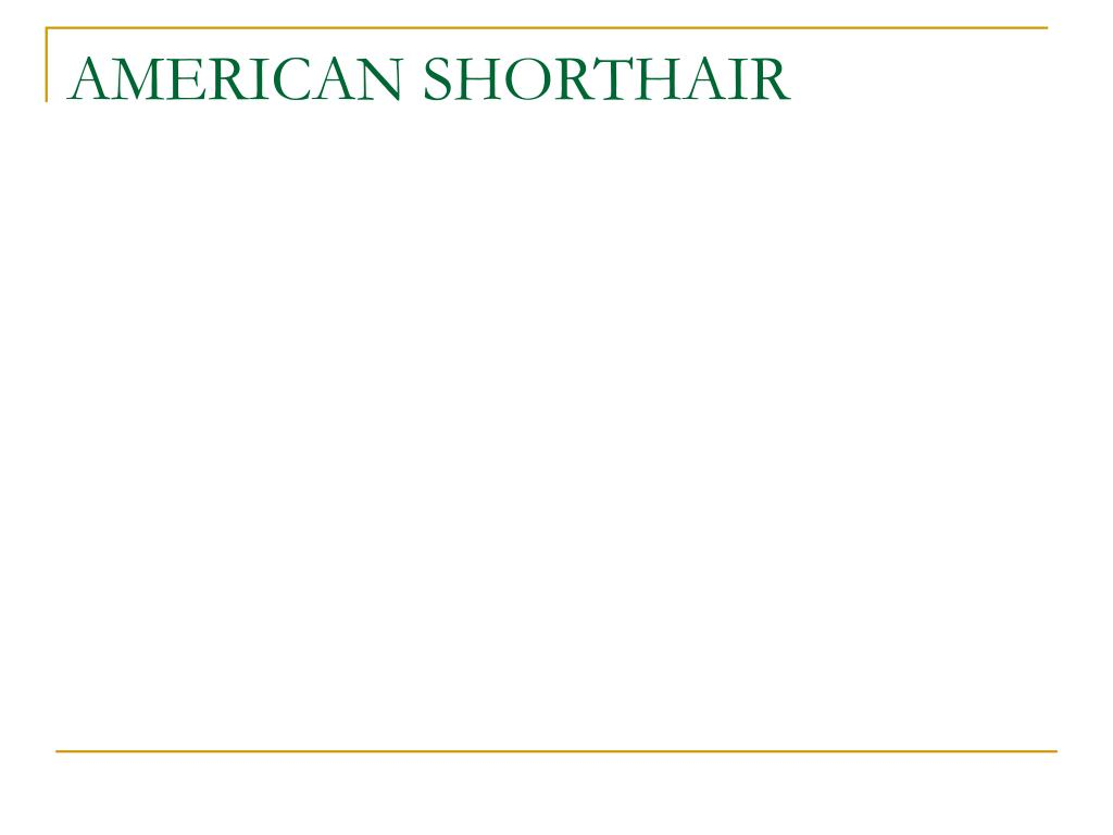 AMERICAN SHORTHAIR