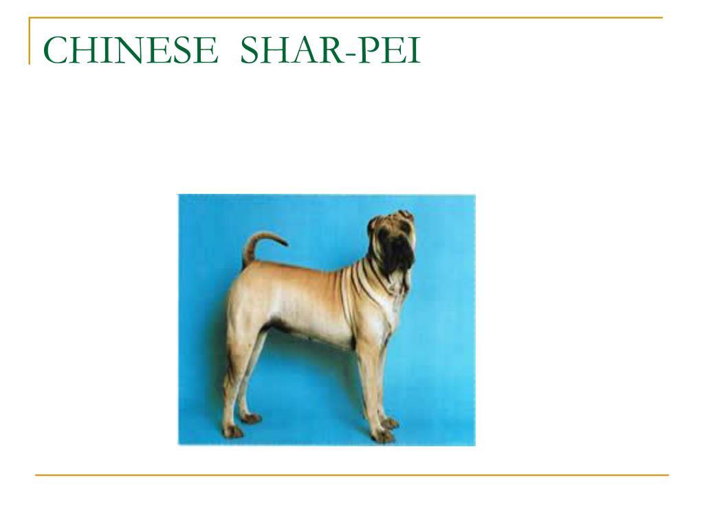 CHINESE  SHAR-PEI