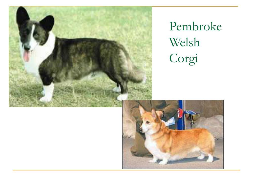 Pembroke Welsh Corgi