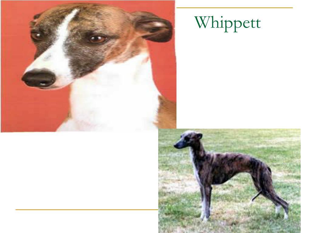 Whippett