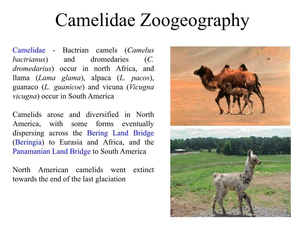 Camelidae Zoogeography