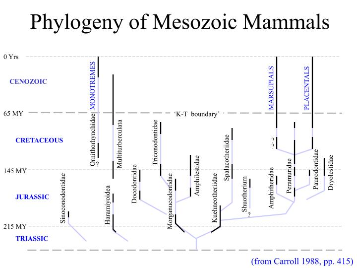 Phylogeny of mesozoic mammals