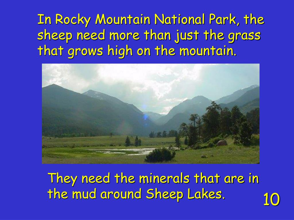 In Rocky Mountain National Park, the sheep need more than just the grass that grows high on the mountain.