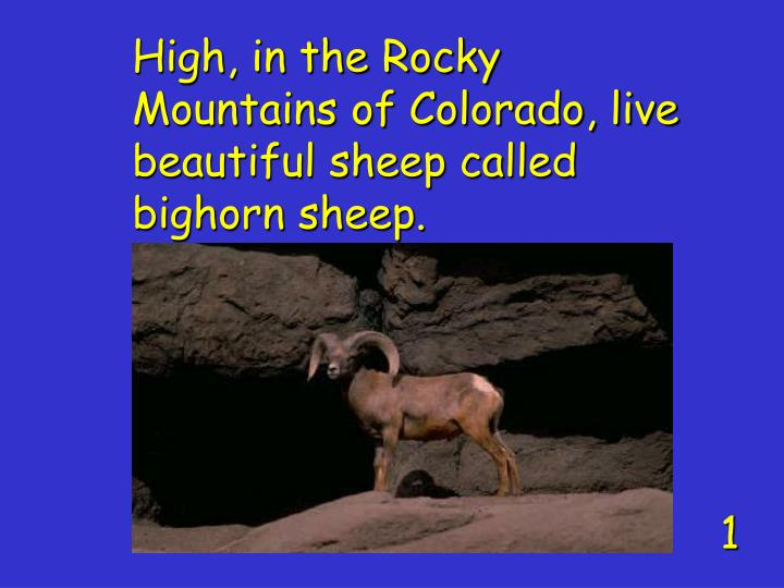 High, in the Rocky Mountains of Colorado, live beautiful sheep called bighorn sheep.