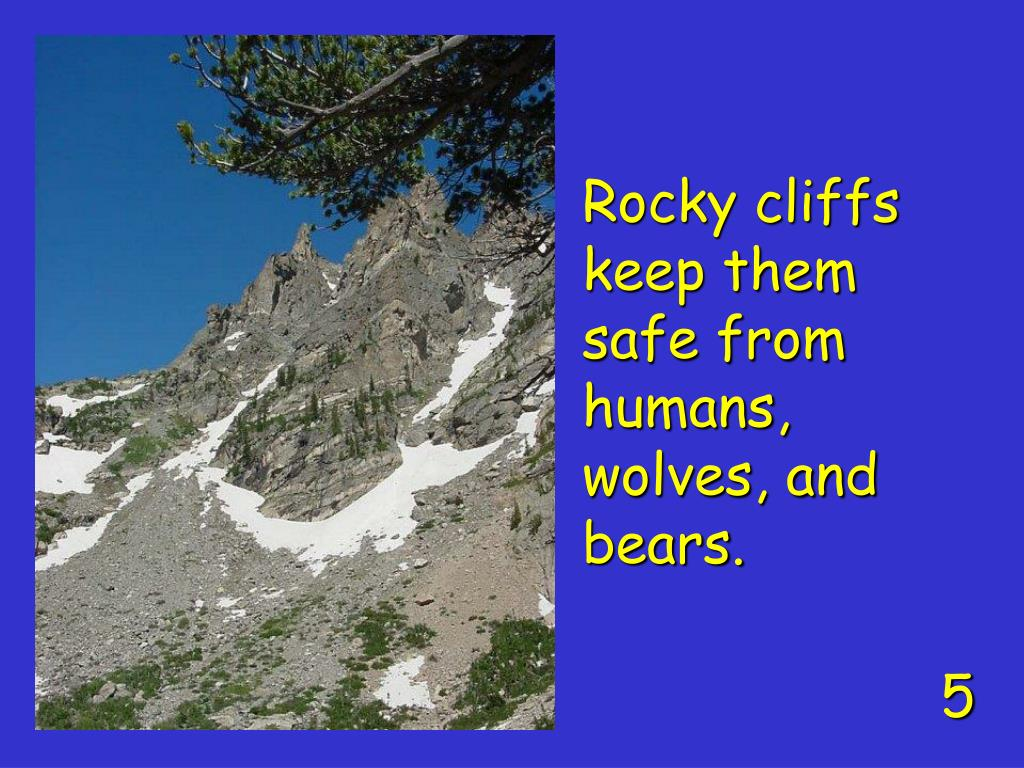 Rocky cliffs keep them safe from humans, wolves, and bears.