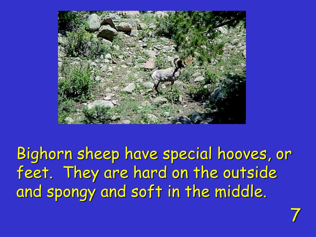 Bighorn sheep have special hooves, or feet.  They are hard on the outside and spongy and soft in the middle.