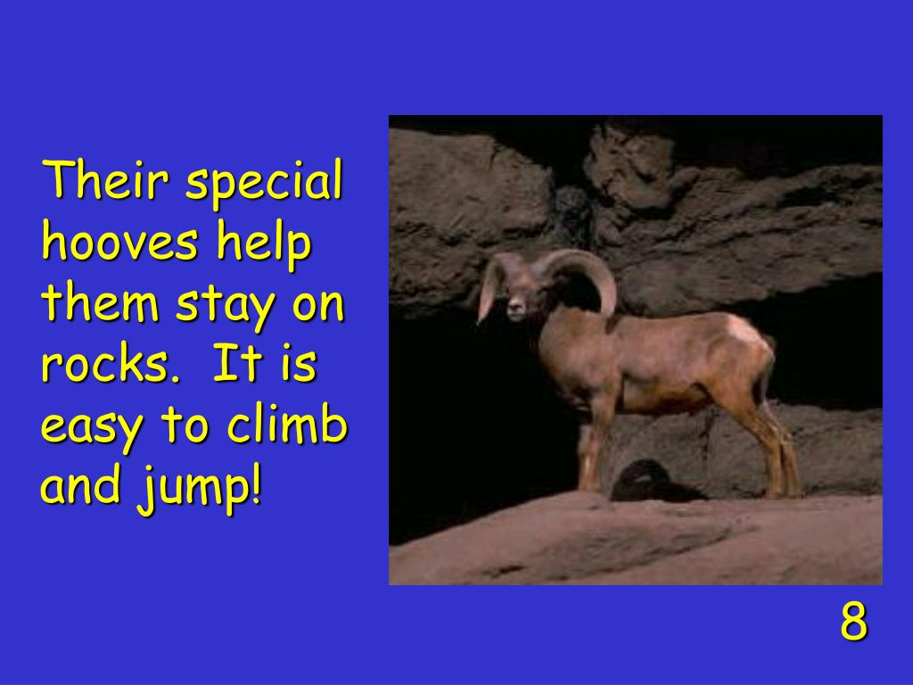 Their special hooves help them stay on rocks.  It is easy to climb and jump!