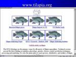 www tilapia org