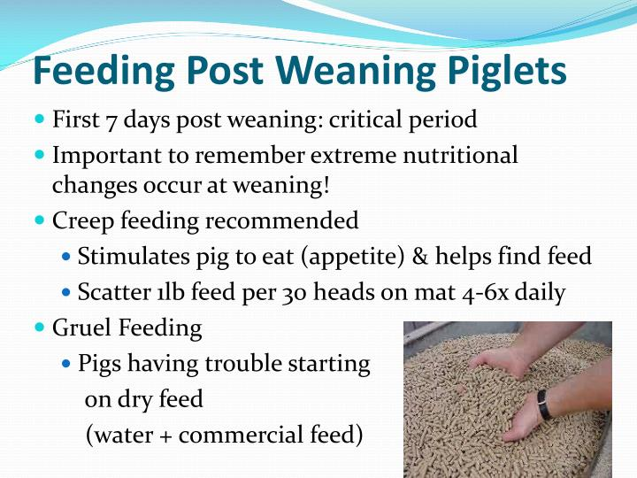 Feeding Post Weaning Piglets