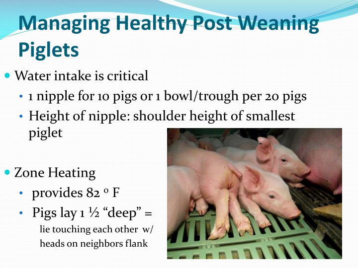 Managing Healthy Post Weaning Piglets