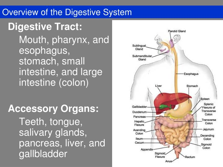 overview of the digestive system n.