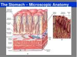 the stomach microscopic anatomy