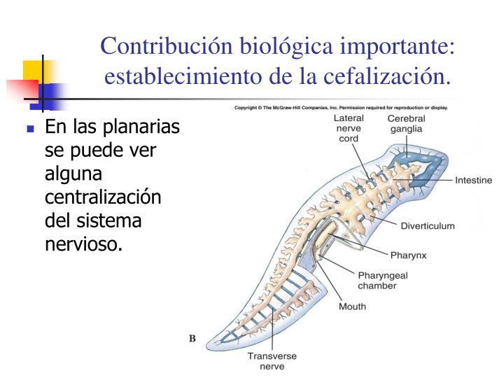 PPT - Filum Platelmintos: gusanos planos PowerPoint Presentation ...