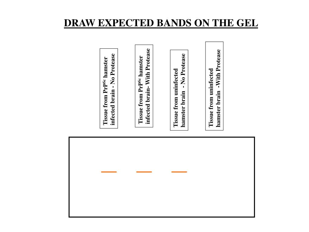 DRAW EXPECTED BANDS ON THE GEL