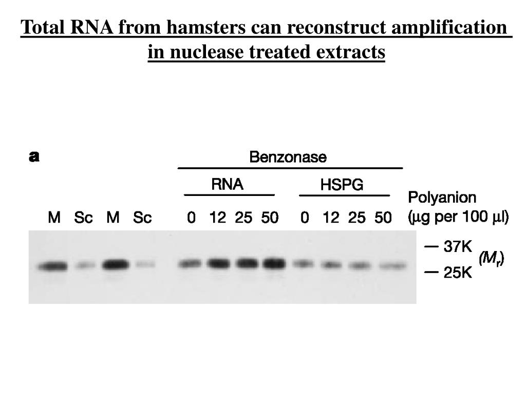 Total RNA from hamsters can reconstruct amplification
