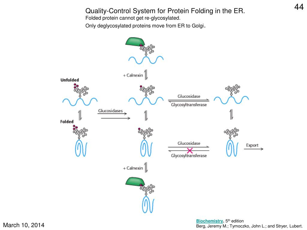 Quality-Control System for Protein Folding in the ER.