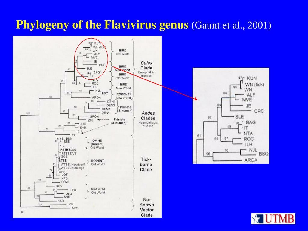 Phylogeny of the Flavivirus genus