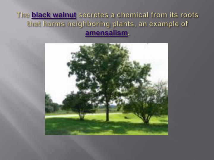what is amensalism