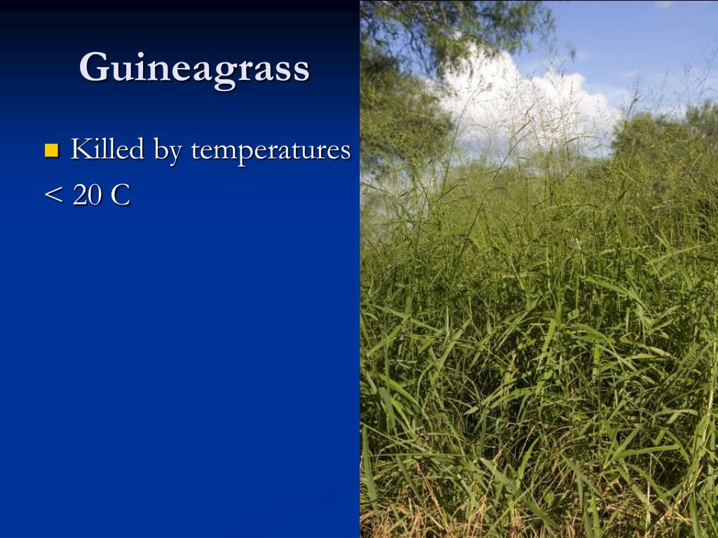 Guineagrass
