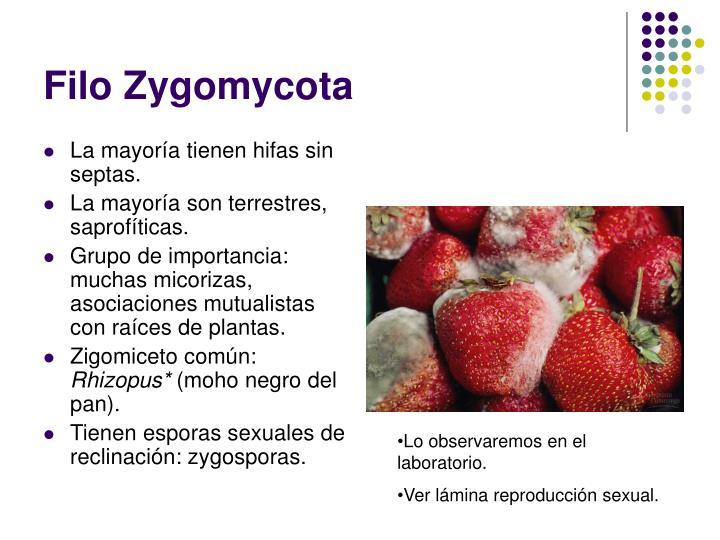 Tudo sobre filo zygomycota asexual reproduction