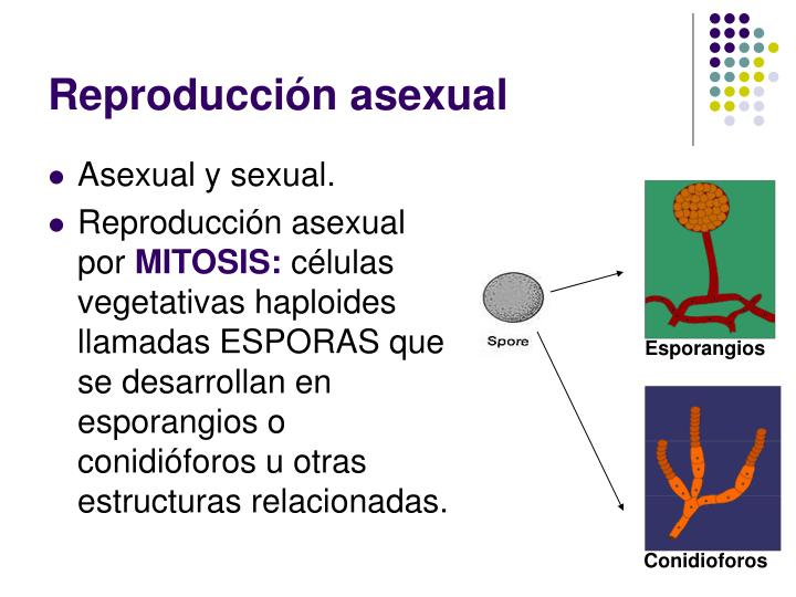 Reproduccion de celulas asexual spores