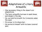 adaptations of a hairy armadillo