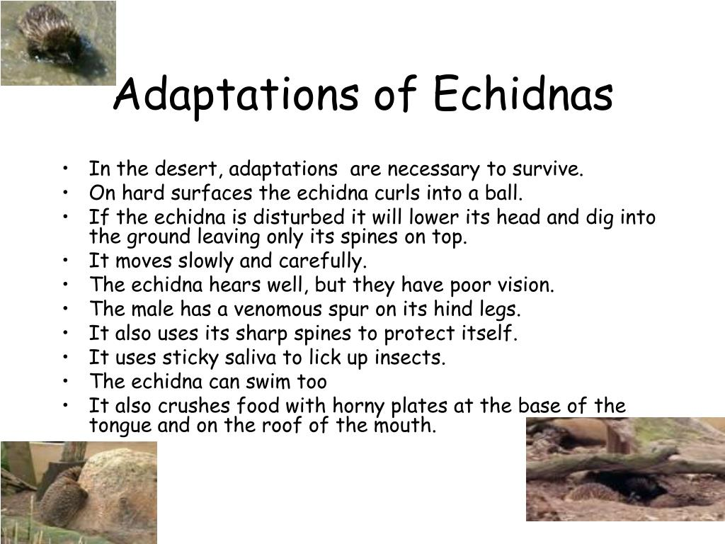 Adaptations of Echidnas