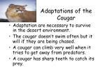 adaptations of the cougar