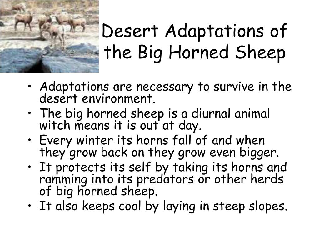 Desert Adaptations of the Big Horned Sheep
