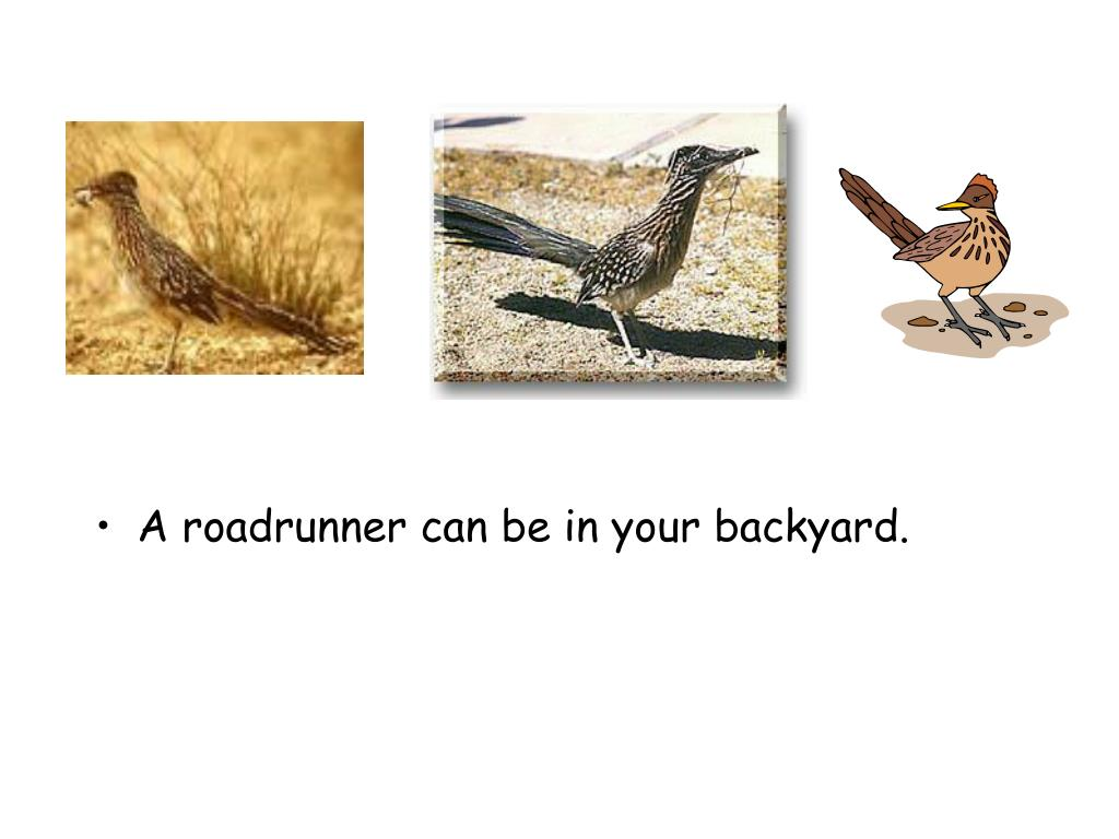 A roadrunner can be in your backyard.