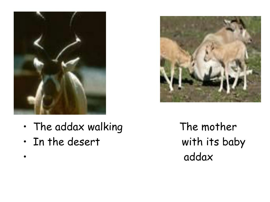 The addax walking                  The mother