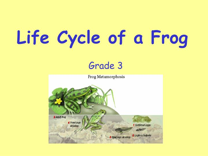 life cycle of a frog n.