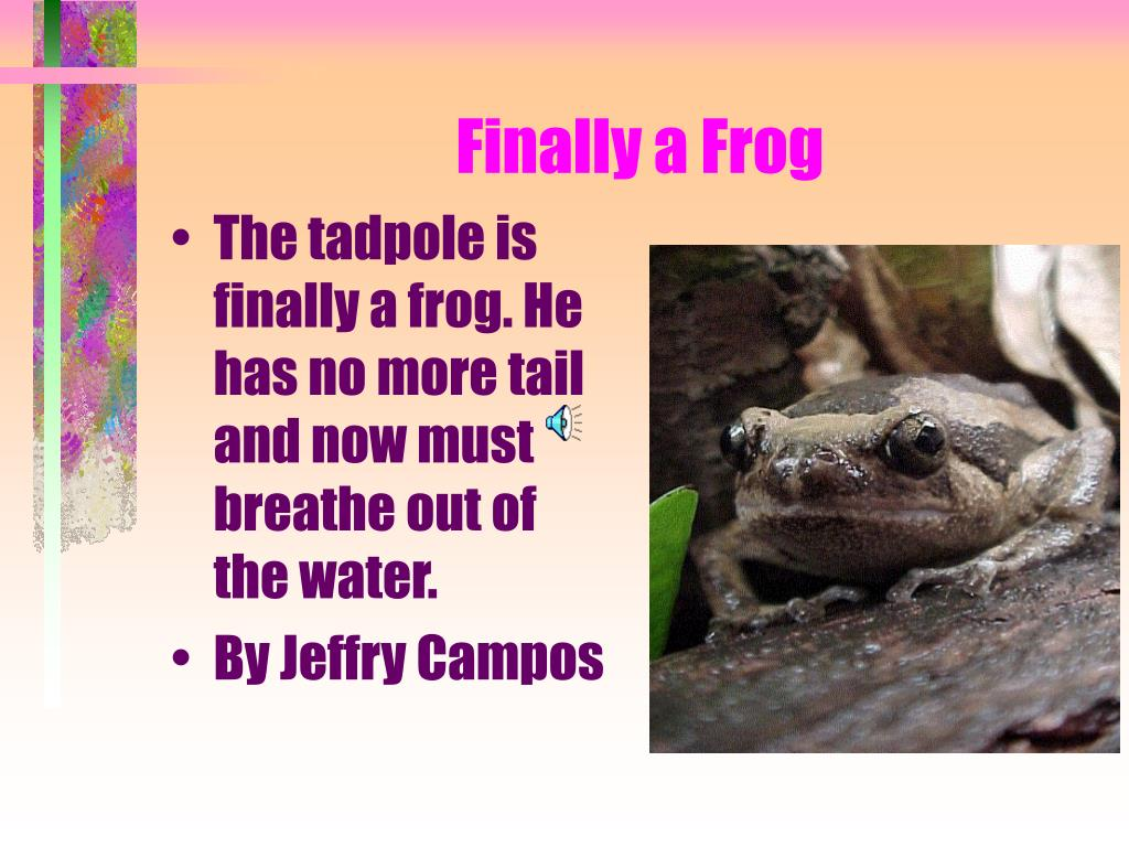 The tadpole is finally a frog. He has no more tail and now must breathe out of the water.