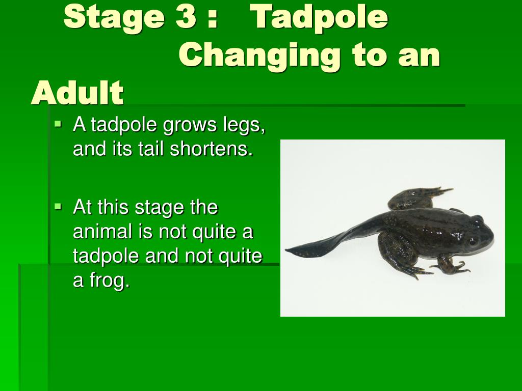 Stage 3 :   Tadpole     	 		    Changing to an Adult