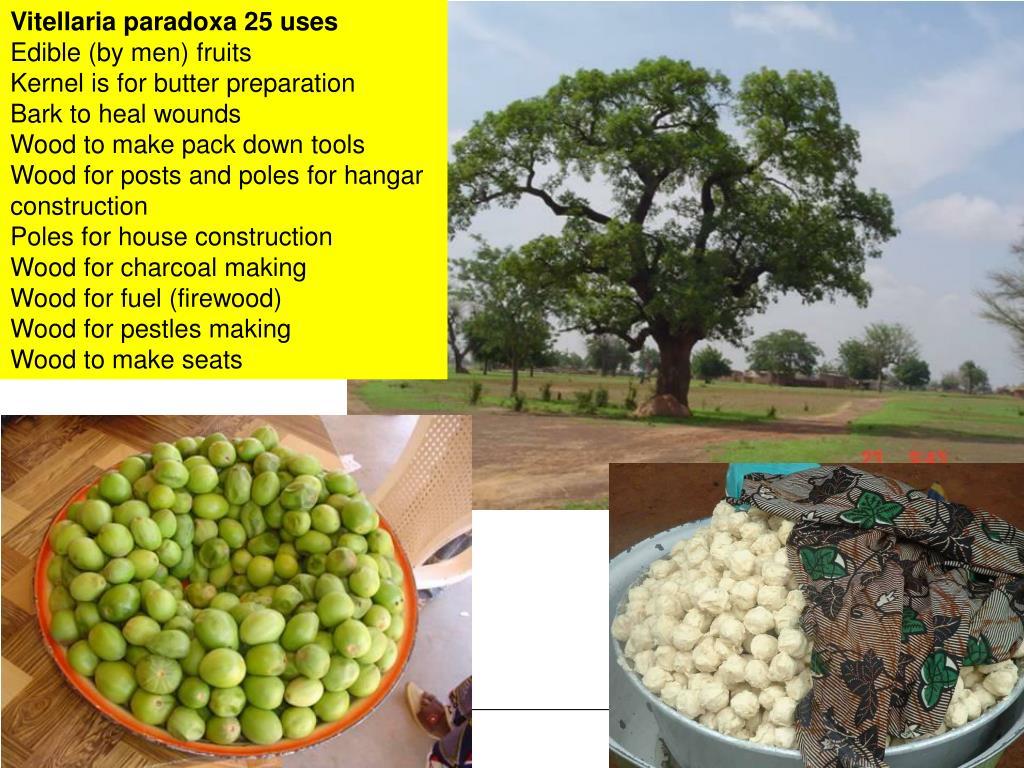 Vitellaria paradoxa 25 uses
