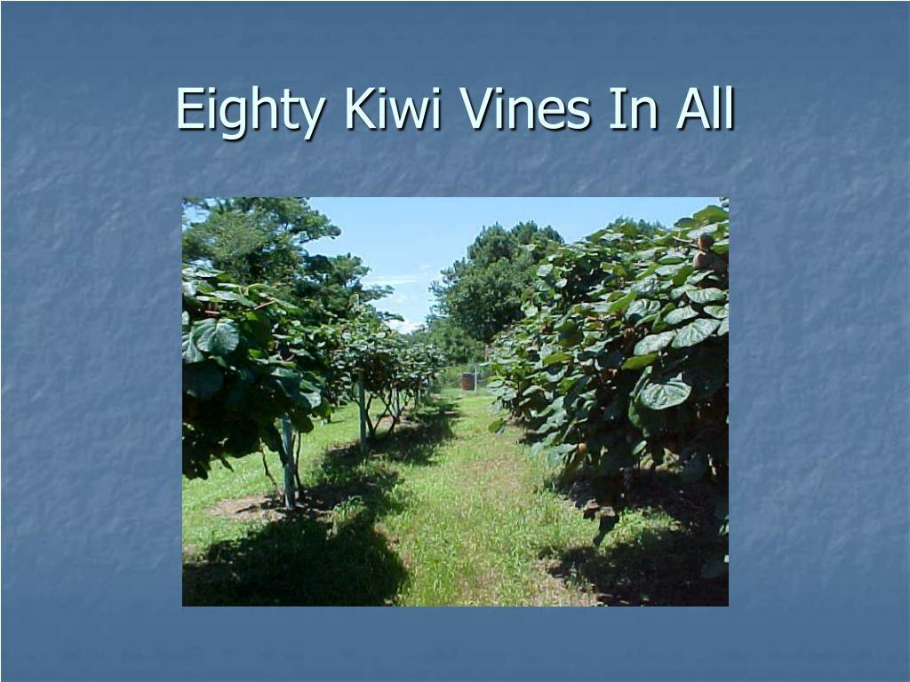 Eighty Kiwi Vines In All