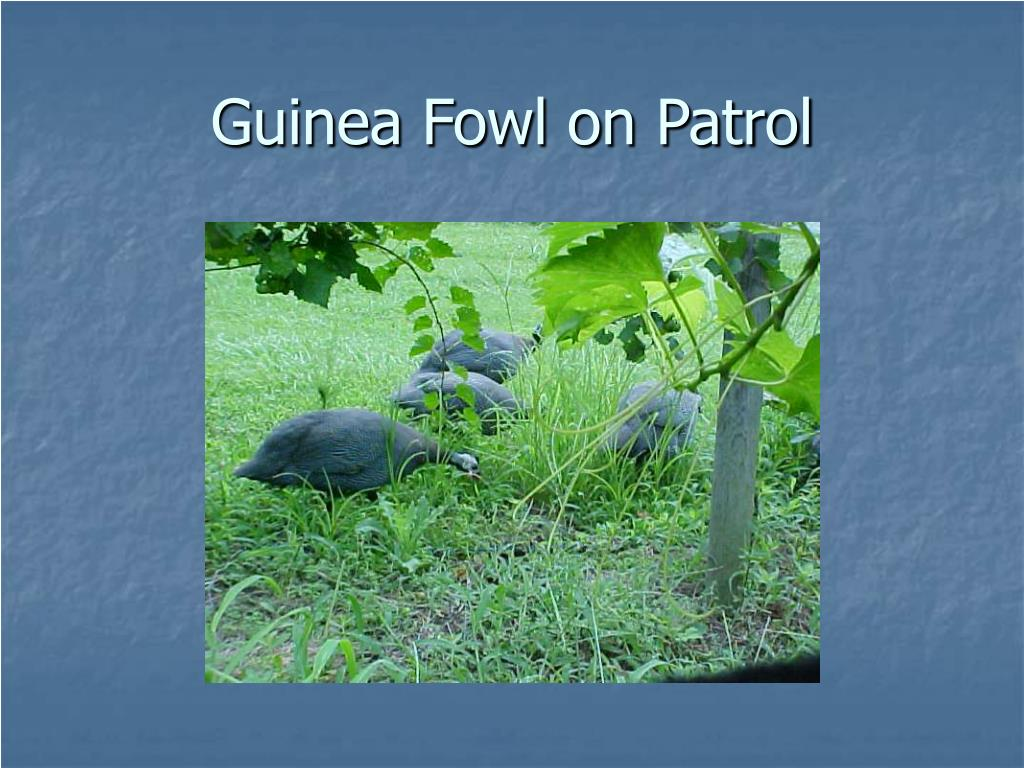Guinea Fowl on Patrol