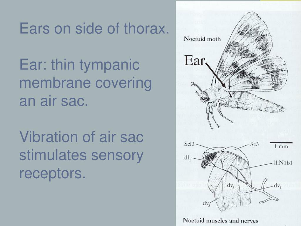 Ears on side of thorax.