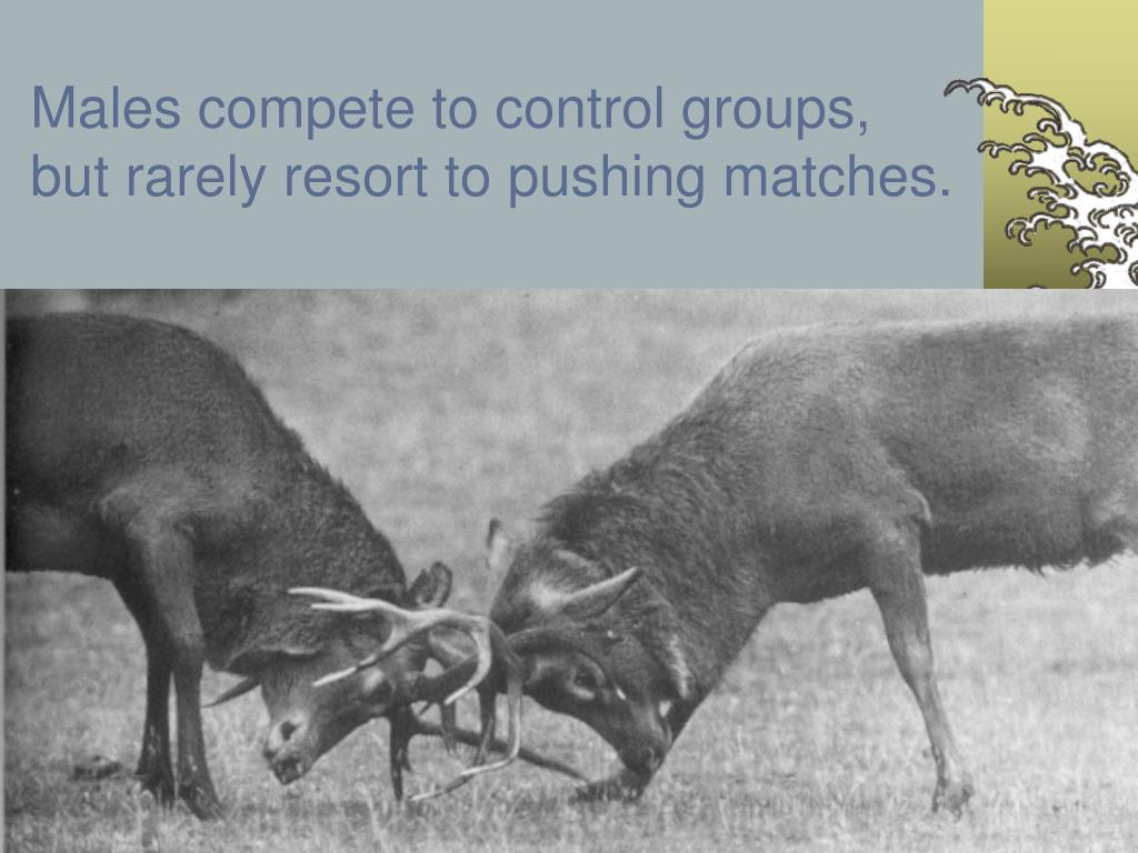 Males compete to control groups, but rarely resort to pushing matches.