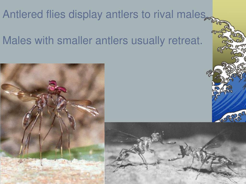 Antlered flies display antlers to rival males.