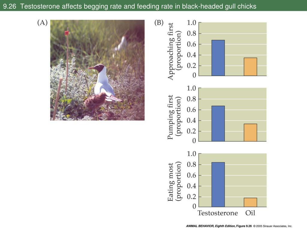 9.26  Testosterone affects begging rate and feeding rate in black-headed gull chicks