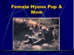 female hyena pup mom