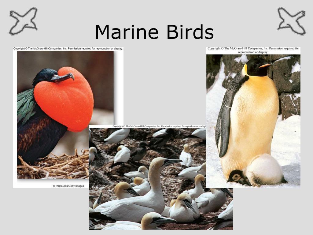 PPT - Marine Birds PowerPoint Presentation - ID:1086962